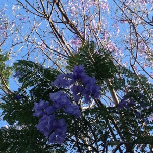 The jacaranda tree outside my old workplace